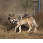 evaluating-the-taxonomic-status-of-red-wolf-and-mexican-gray-wolf