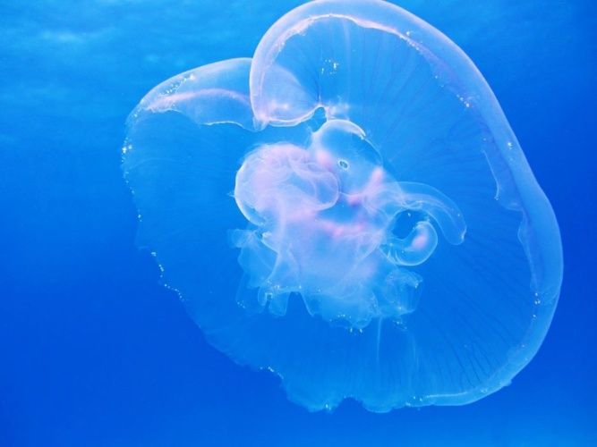 underwater-robot-resonates-with-aurelia-aurita-jellyfish