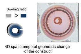 shape-changing-hydrogel-good-fit-for-tissue-engineering