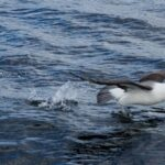 drones-and-ai-keep-count-of-falklands-seabirds