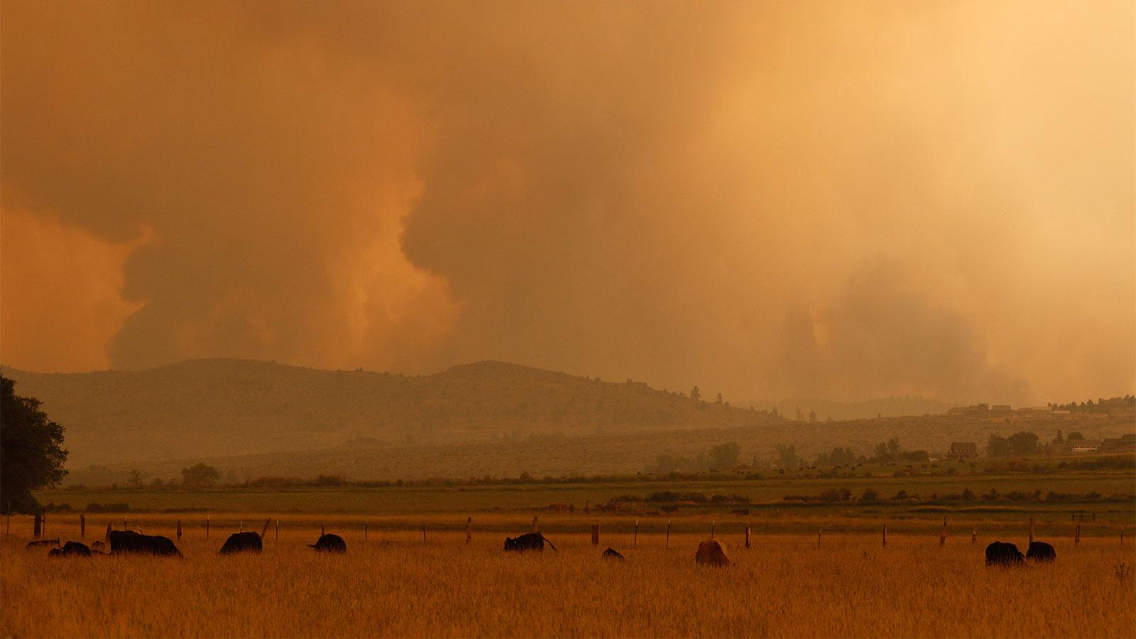 Cattle grazing in a smoke filled field